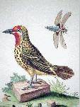 Bird Engraving Picus Flavus